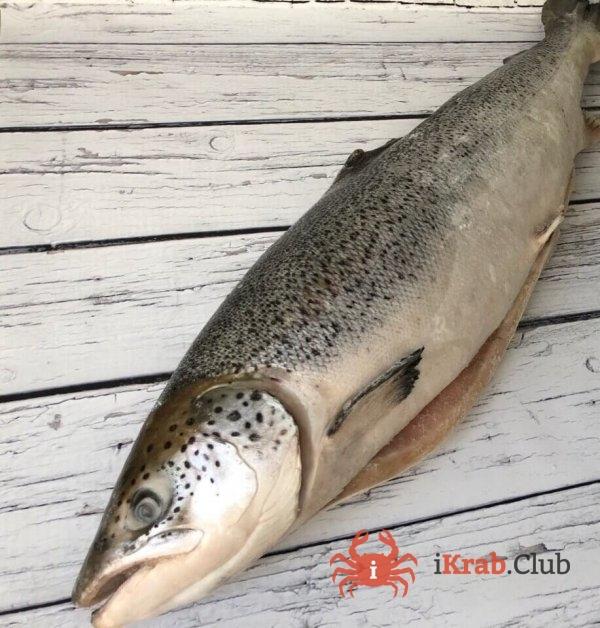 Лосось атлантический (Сёмга), тушка до 4 кг